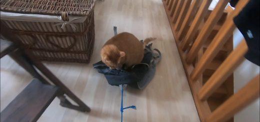 ロックダウンの自宅で楽しむ猫サーフィン、気分も新たに屋内探検