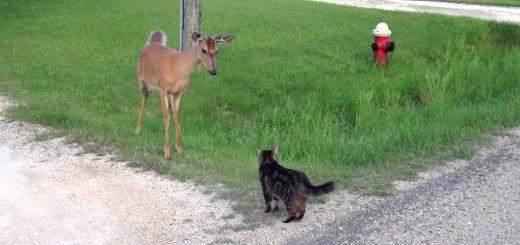 散歩途中で鹿に遭遇したキジトラ、結界張って寄せ付けず