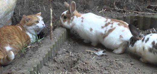 数珠つなぎのウサギに迫り来られる猫、来そうで来なくて困惑顔