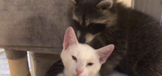 アライグマの強すぎる愛を受けるとめる猫、激しいハグに翻弄されて