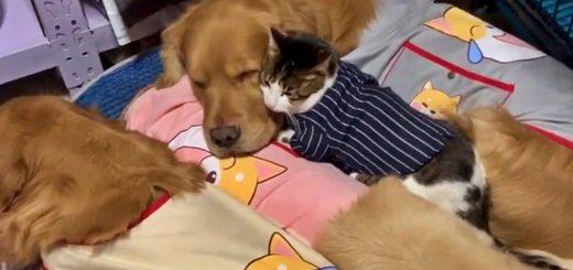 黄金の3つの枕と眠る猫、挟み挟まれミルフィーユに