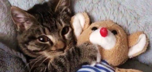 お隣にあの子がいないとグズる猫、テディベア抱き締め頬寄せ眠る