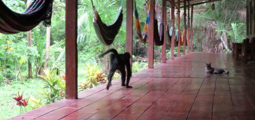 遠隔のクモザルさえも引き寄せる、猫の魅力は種族を超えて