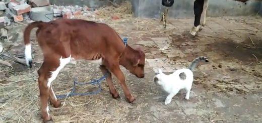 親牛にも仔牛からにも愛される猫、行く先々で毛づくろわれ