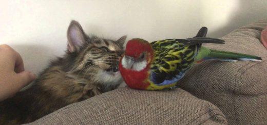 私を撫でろと拗ねるオウムをなだめる猫、優しくしたのに八つ当たりされ