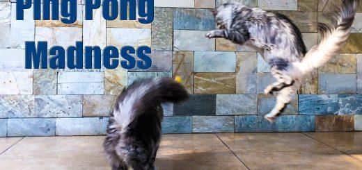 尾を翻し身をよじらせて跳躍する猫、ピンポン球を追って逃して