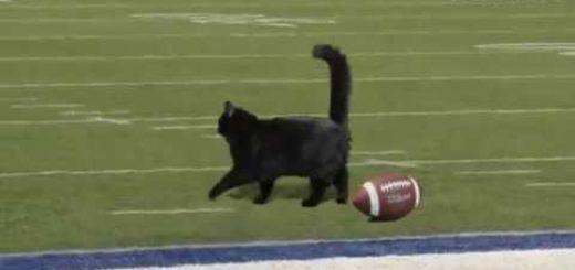 アメフトの試合を止める黒き猫、観衆の目をくぎ付けに