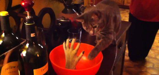 握手からハロウィンボウルと始めたい猫、間合いがとれずにすれ違い
