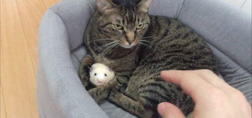 飼い主からネズミを死守するキジトラ猫、子年続行を望むかのごとく