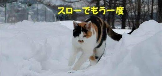 雪道に足を滑らせ揺らぐ猫、万全の着地で事なきを得る