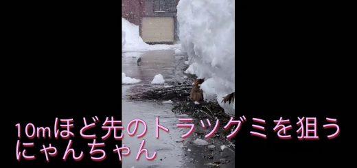 豪雪をものともせずにラッセルする猫、雪国暮らしの耐性を示す