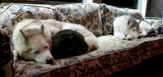 ハスキーとソファで共寝の黒い猫、白黒と白の三重星に