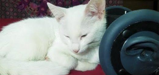 白猫の側に共寝の60分、たっぷりゴロゴロASMR