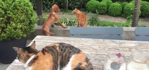 喧嘩を売られた友を救った三毛の猫、吠える茶トラにパンチを喰らわす
