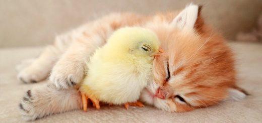 モフモフの茶色と黄色がとろけて融合、子猫とヒヨコは眠りに落ちて