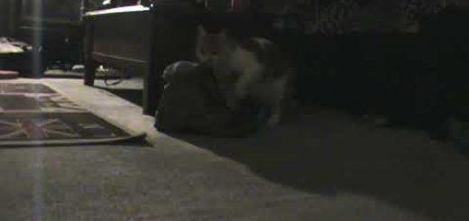 真夜中に靴下盗賊猫現る、おとり捜査で身元判明