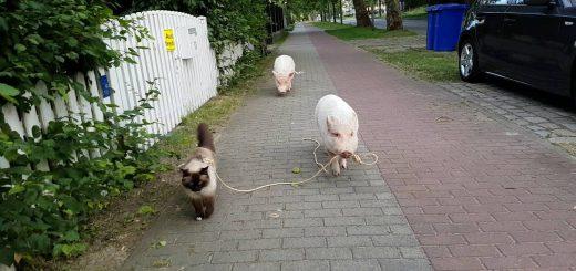 ブタさんを先導しながらお散歩する猫、リードの端はブタさんの口に