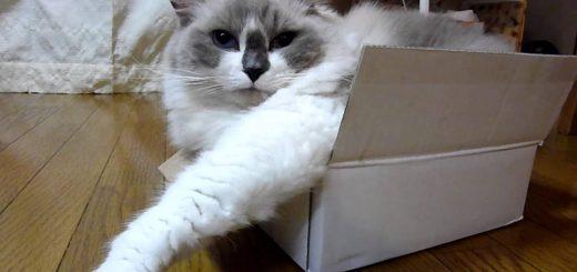 ちんまりと箱入りの猫、一抹の懐疑も持たぬ顔を浮かべる