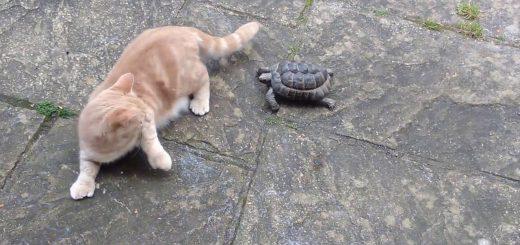 俊敏な亀と戯れ逃げる猫、嫌がりながらも追われるのを待ち