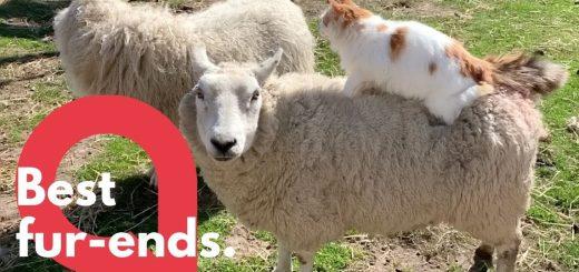 背に乗って2匹仲よく猫羊一体、一体全体何物状態