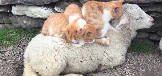 子羊の背中に集まる3匹の猫、羊と猫のみらたし団子に