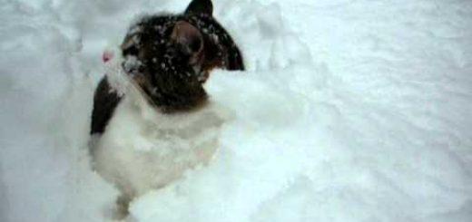 白妙の雪中に浮かぶお顔とシッポ、雪を舞台にじゃれ合う猫たち