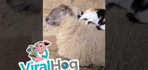 擦れ合う羊毛vs猫毛の戦い、どっちが気持ち良さげな顔か