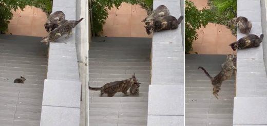 3度目のトライで救出、落ちた子猫を咥えて鎮めてジャンプして
