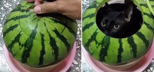 刺すような鋭き眼光迸る黒猫、スイカの中からこんにちは