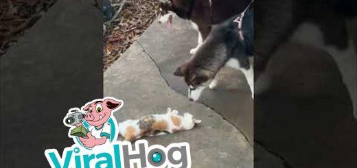遊びにかけては手練の三毛猫、2匹の子犬をじらしてじゃらして