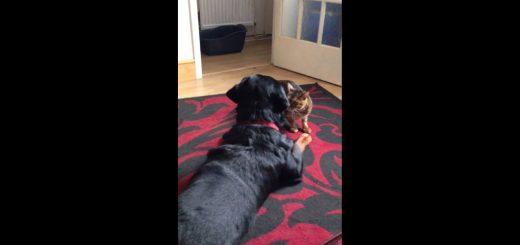 ローアングルから犬を睨むよベンガル猫、交互に繰り出すツンとデレ