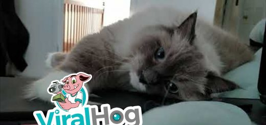 円やかな瞳でこちらを見つめる猫、枕は開いたThinkPad